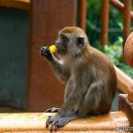 i75-monkey-malaysia