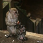 i75-monkey-malaysia_005