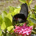 Sibu Butterfly on flower