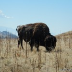 Yes, there really are wild buffalo roaming around